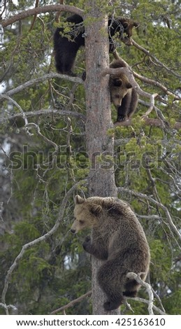 Brown Bear (Ursus arctos) with Bear-cubs on a Pine tree. Spring forest.  - stock photo