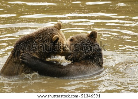 2 brown bears playing in a puddle.
