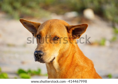 Brown dog on blurry background:Close up,select focus with shallow depth of field. - stock photo