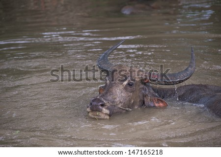 buffalo is playing water, Thailand  - stock photo