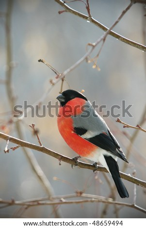 bullfinch perched on a branch, close up photo - stock photo