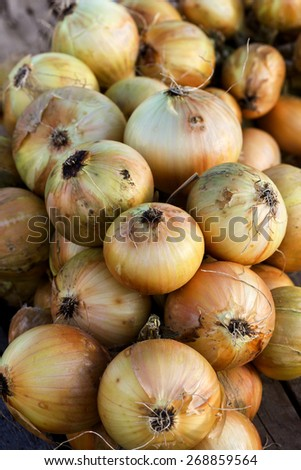 bunch of onions in a kitchen garden, autumn harvest - stock photo