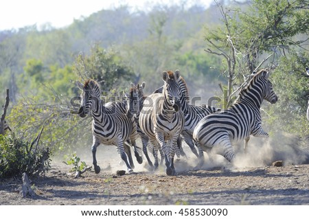 Burchell's zebra (Equus burchelli). in a panic at a waterhole in the african bush veld - stock photo