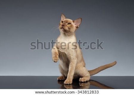 Burma Cat Looking up and raising paw on Gray background