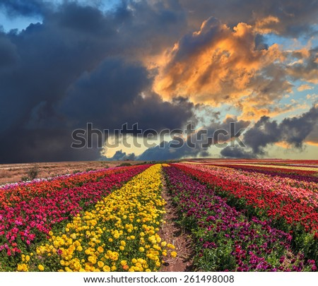 Buttercups blooming garden. Spring thundercloud closes the sky. Farmers field with flowers grown for export sales - stock photo