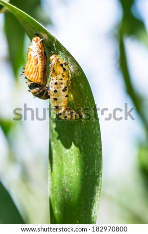 butterfly cocoon and the empty chrysalis of butterfly hanging on branch