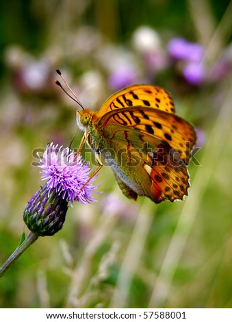 butterfly  Marbled Fritillary (Brenthis daphne) - flowering thistle