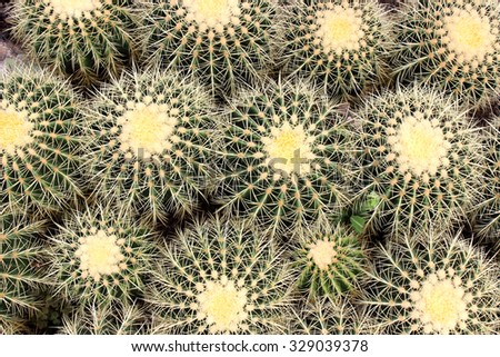 Cactus. Green cactus thorns in the cultivation bowl ,it has lots of small long green stings. - stock photo