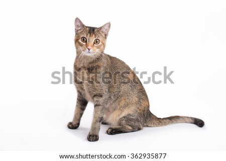 Calico Domestic Short-hair Sitting on White Background