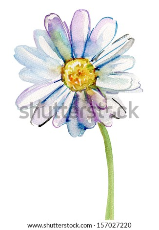 Camomile flower, watercolor illustration - stock photo