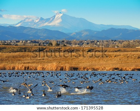 canada geese in stearns lake,  near broomfield, colorado    - stock photo
