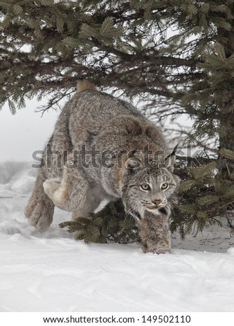Canadian lynx, on the prowl and walking through winters snow. - stock photo