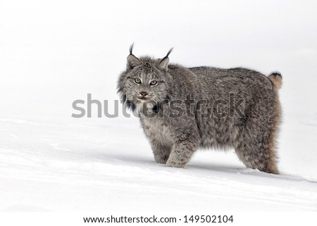 Canadian Lynx profiled, walking through snow   - stock photo
