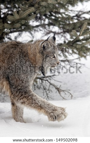 Canadian lynx, with close up on her large paw, walking through winters snow. - stock photo