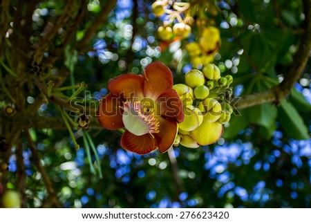 Cannonball tree flowers (Couroupita guianensis) - stock photo