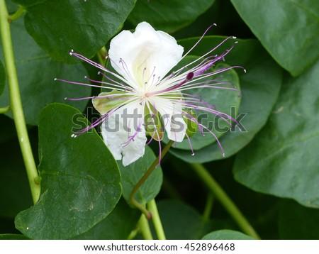 Family Capparidaceae - definition of family Capparidaceae ...