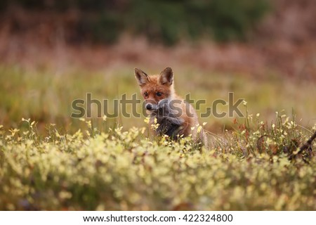 Carefully fox peeking out of the grass and looking for what could hunt. Beautiful portrait foxes middle of a meadow, close-up head.