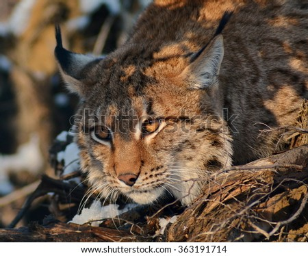 Carpathian lynx (Lynx lynx carpathicus) - stock photo