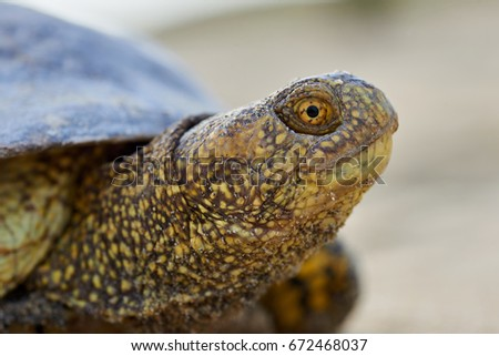 mauremys annamensis mauremys stock images royalty free images vectors shutterstock