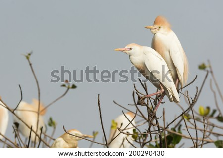 2 Cattle Egrets (Bubulcus ibis) perched in a nesting colony - stock photo