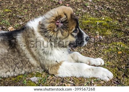 Caucasian shepherd dog is in profile - stock photo