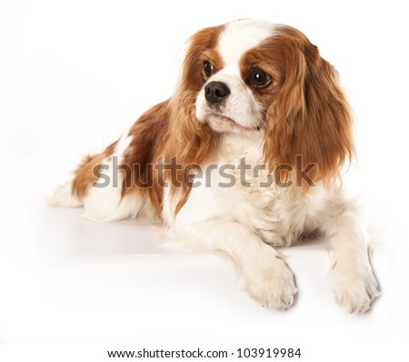 Cavalier king charles spaniel dog  and flowers chamomile