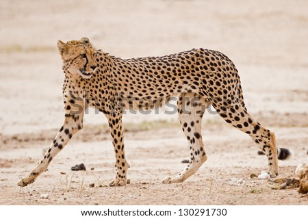 Cheetah walking in dry riverbed; Acinonyx jubatus