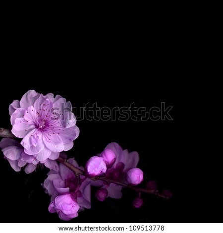 cherry blossom on black - stock photo