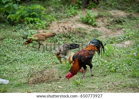 chickens eating food on the ground