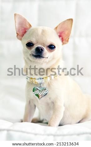 chihuahua dog  sitting and looking at camera - stock photo