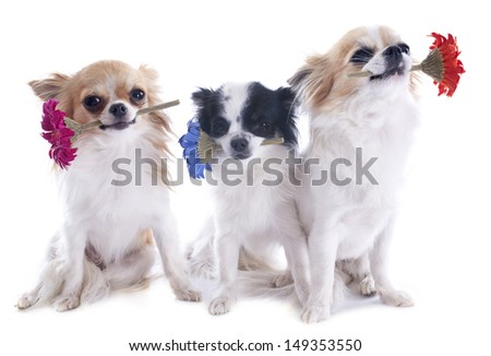 chihuahuas holding flower in front of white background - stock photo