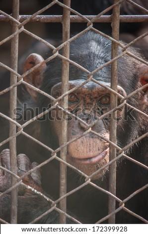 Chimpanzee monkey in animal cages - stock photo