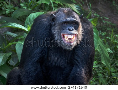Chimpanzee smile - stock photo