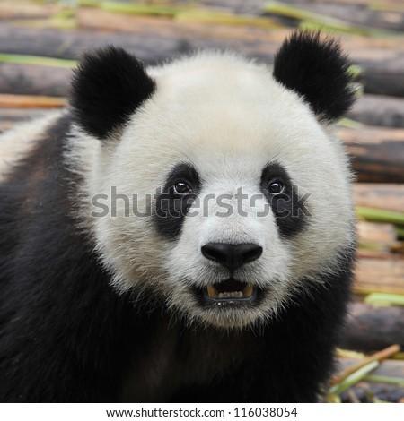 China 's giant panda bear - stock photo