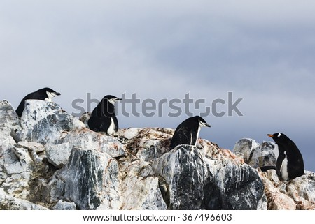 3 Chinstrap Penguin and a Gentoo