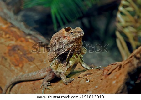 (Chlamydosaurus kingii) australian frilled lizard also known as the frilled dragon, is found mainly in northern Australia and southern New Guinea. Its name comes from the large frill around its neck. - stock photo