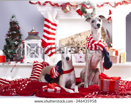christmas  whippet - stock photo