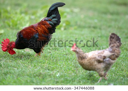 Close up  of a beauty rooster and hen in the poultry yard - stock photo