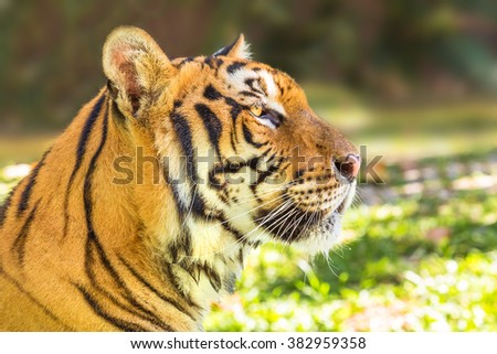 Close up of a big tiger outdoor in Thailand, Asia. Side view. - stock photo
