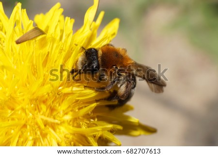 Close-up of a Caucasian brown bee Andrena on a yellow dandelion in the spring