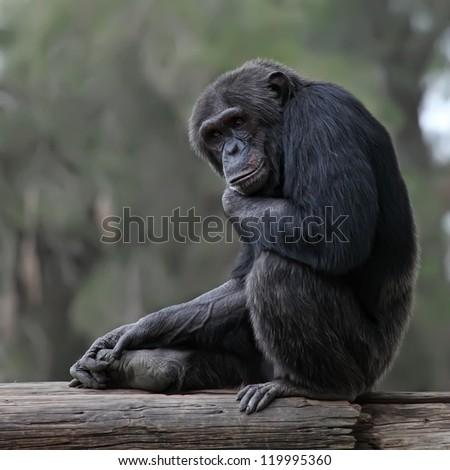 Close up of a Chimpanzee - stock photo