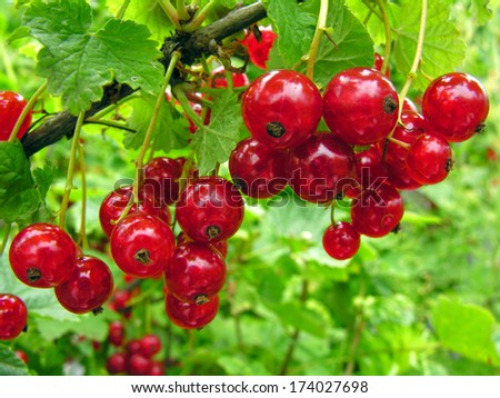 close-up of a  red currant in the fruit garden - stock photo