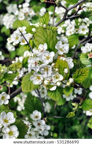 close-up of  blooming hawthorn tree branch, vertical composition