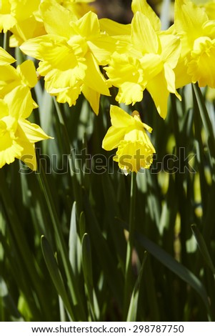 Close up of bright yellow daffodils in garden - stock photo