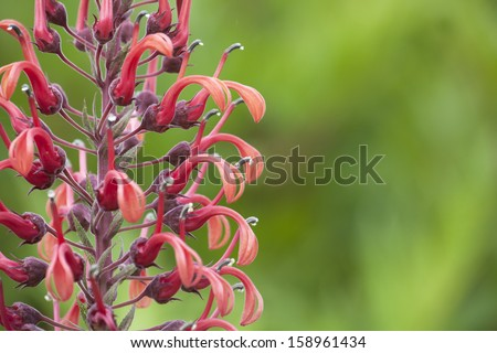 Close up of Lobelia tupa flowers with shallow depth of field.