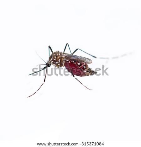 Close up of mosquito on white background