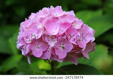 Close up of pink hydrangea  - stock photo