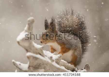 close up of red squirrel  in the snow on tree trunk - stock photo