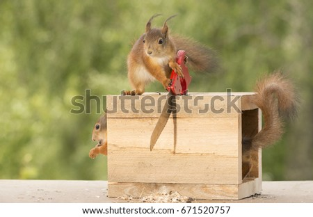 close up of  red squirrels doing the magic saw box trick