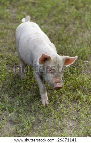 close up of  young piglet on a farm